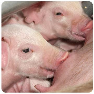 日本SPF豚協会はこんなことをしています